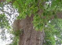 Zadnji dan biranja stabla godine u Europi - Glasujte za platan iz Trstenog